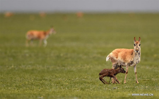 A Tibetan antelope ewe stays with a newly-born lamb at Changtang National Nature Reserve in southwest China's Tibet Autonomous Region, June 24, 2017. (Xinhua/Chogo)