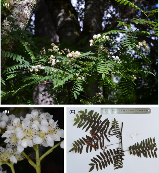 New plant species discovered in Tibet