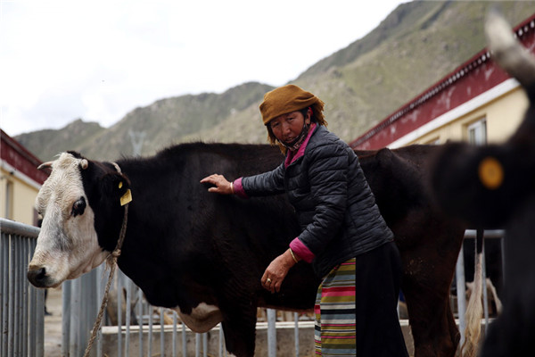 Drolma works on a cattle farm near her new home in Sumdan village. (Photo by HOU LIQIANG/CHINA DAILY)
