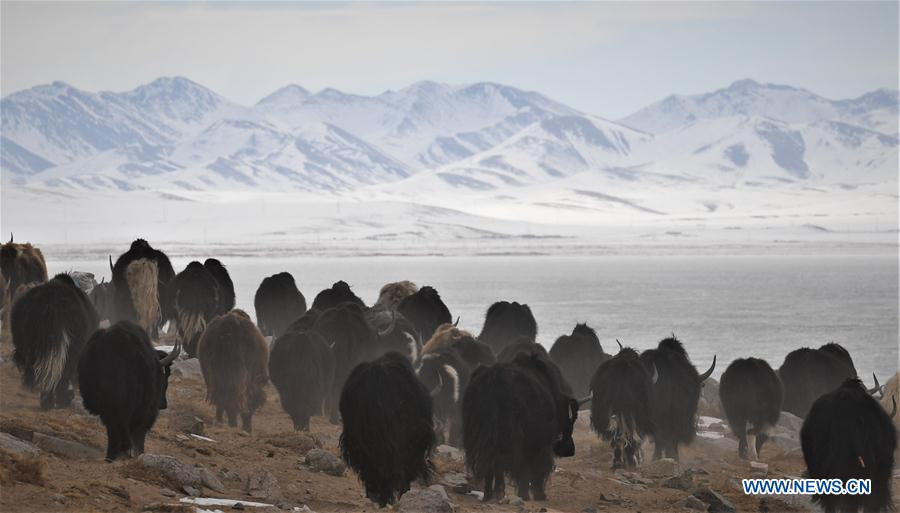 (InTibet) CHINA-TIBET-WINTER-HERDSMEN-LIFESTYLE (CN)