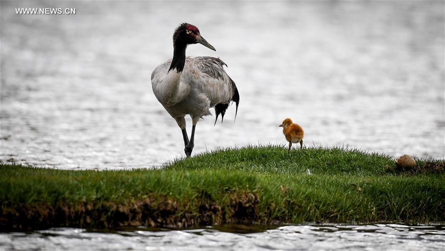 CHINA-TIBET-BLACK-NECKED CRANE-BREEDING (CN)